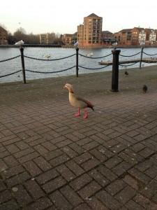 Duck, duck, duck, goose!