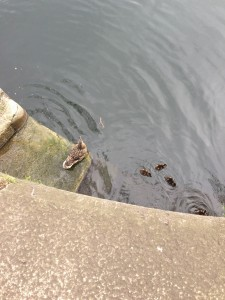 Ducklings! #se16